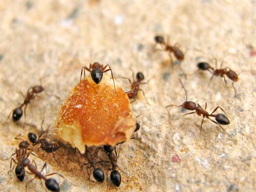 Matar hormigas y plagas de hormigas tcp desinsectaci n - Plaga de hormigas en mi casa ...