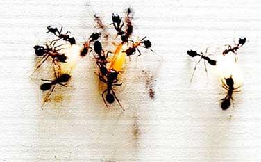 plaga de hormigas en casa
