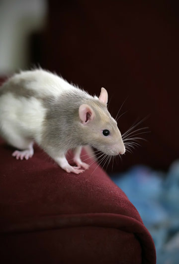 Desratizaci n para acabar con las ratas - Como eliminar ratas en casa ...