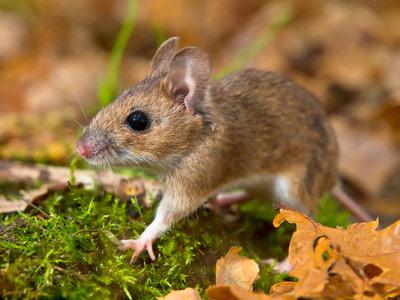 matar plaga de ratones