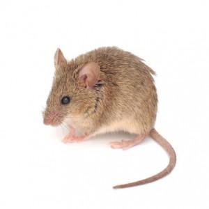 exterminar ratones
