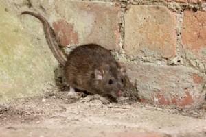 plaga de ratas
