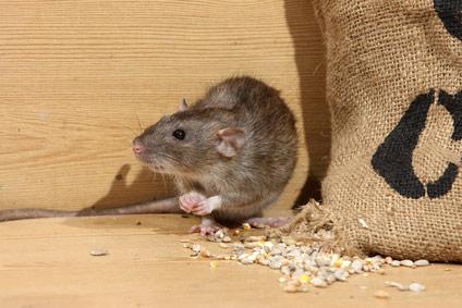 exterminar ratas