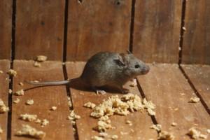 donde viven los ratones