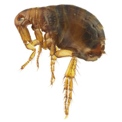 plaga de pulgas en casa