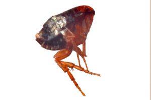 Plaga de pulgas
